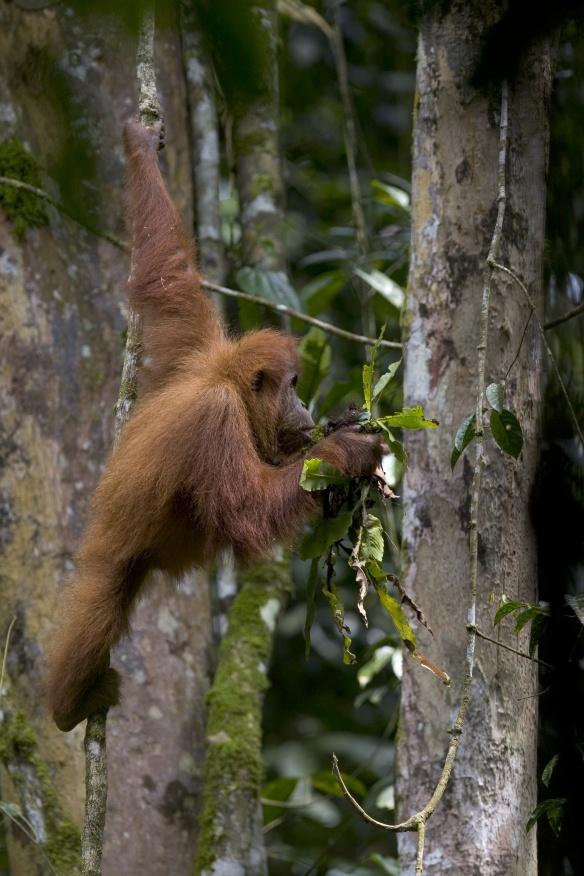 Sumatran orangutan feeding