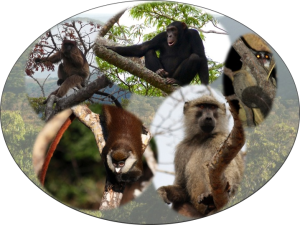 Some of the Ugalla primates, clockwise from top left: red colobus (credit: F. Stewart), chimpanzee (credit: Jan Hosek & Marian Polak),greater galago (credit: J. Moore), yellow baboon (credit: C. Johnson), redtail monkey (credit: C. Johnson)